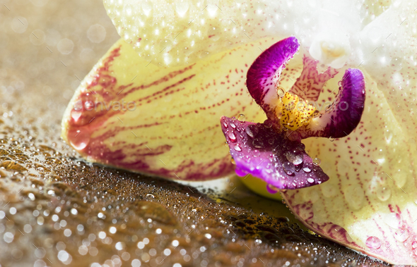 Orchid fower and water drops - Stock Photo - Images