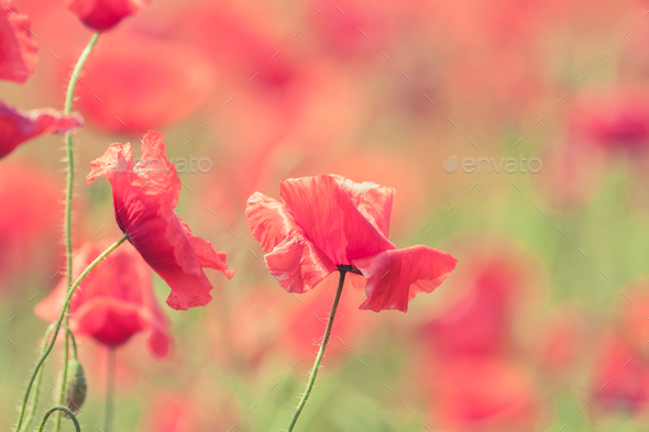 Poppy flowers retro peaceful summer background Stock Photo by blas