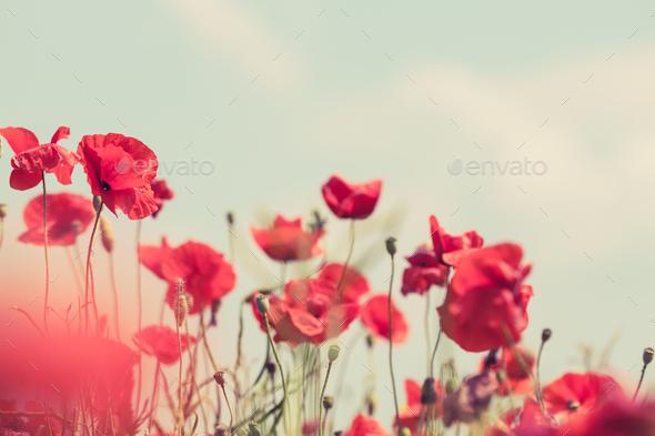 Poppy flowers retro peaceful summer background - Stock Photo - Images