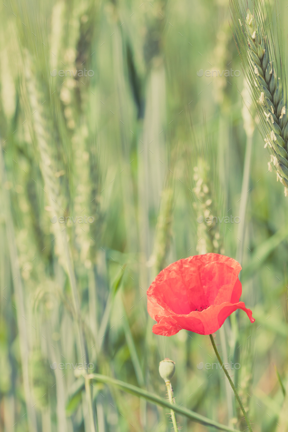 Poppy flower retro peaceful green background - Stock Photo - Images