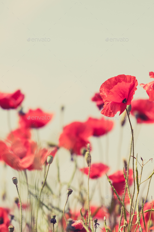 Poppy flowers retro peaceful summer background - Stock Photo - Images