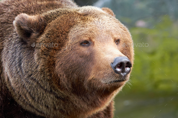 Brown bear (Ursus arctos) - Stock Photo - Images