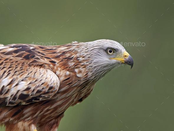 Red kite (Milvus milvus) - Stock Photo - Images