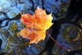 Autumn maple leaf floating on water - PhotoDune Item for Sale