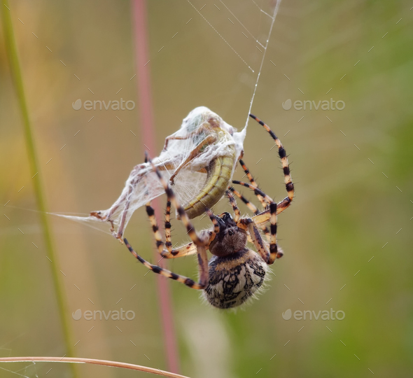Hunting wasp spider - Stock Photo - Images