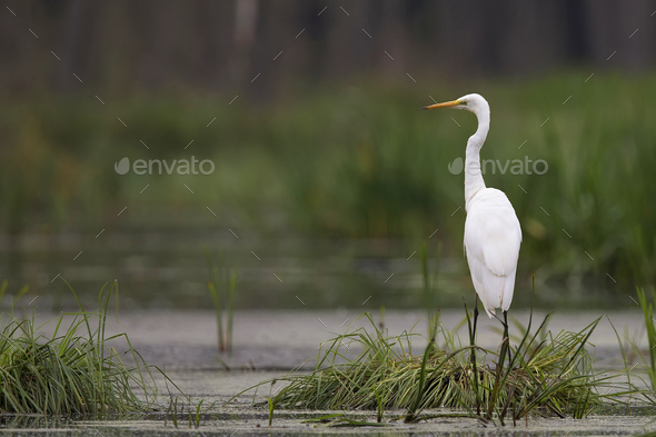 Great egret in the wild - Stock Photo - Images