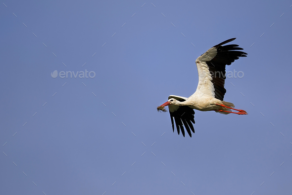 White stork in the flight - Stock Photo - Images