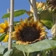 Yellow Sunflowers Under the Blue Sky - VideoHive Item for Sale