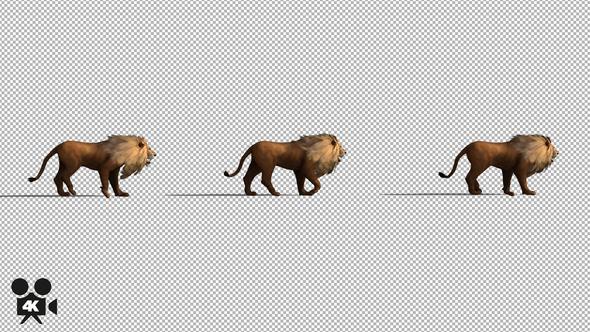 4k lion walking by handrox g videohive
