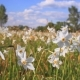 White Narcissus Growing in the Spring Field. Field of Flowering Daffodils - VideoHive Item for Sale