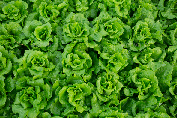 Lettuce - Stock Photo - Images