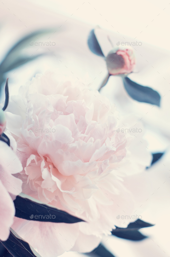 Beautiful white peony flowers - Stock Photo - Images