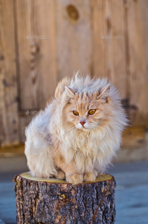 the fluffy cat sits on a stub - Stock Photo - Images