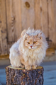 the fluffy cat sits on a stub - PhotoDune Item for Sale