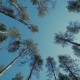 Pine Free Forest Sunny Day Lights, Trees, Sky - VideoHive Item for Sale