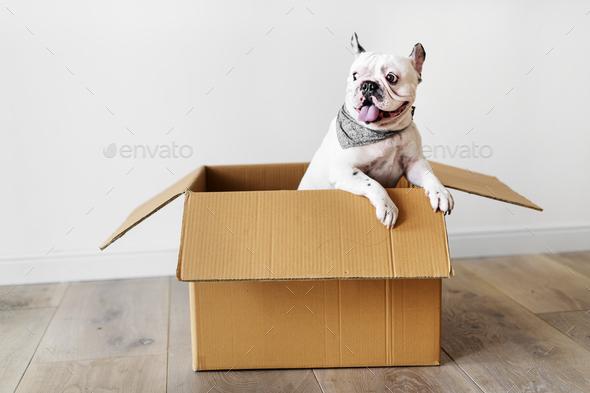 Closeup of French bulldog - Stock Photo - Images