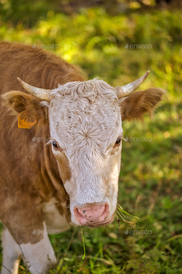 Close up portrait of a highland cow in sunshine with ear tag - Stock Photo - Images