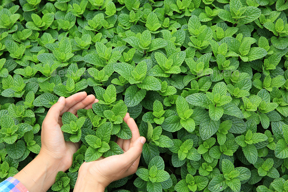 Hands protect mint in growth at garden - Stock Photo - Images