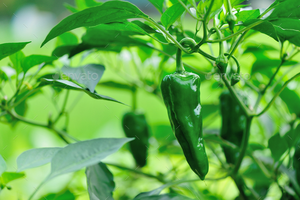 Green pepper plants in growth at vegetable garden - Stock Photo - Images