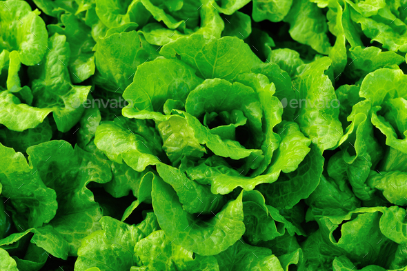 Fresh lettuce   - Stock Photo - Images