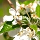 A Bee Pollinates a Flower Cherry - VideoHive Item for Sale