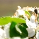 The Bee Pollinates the Flower. Flowering Cherry. - VideoHive Item for Sale