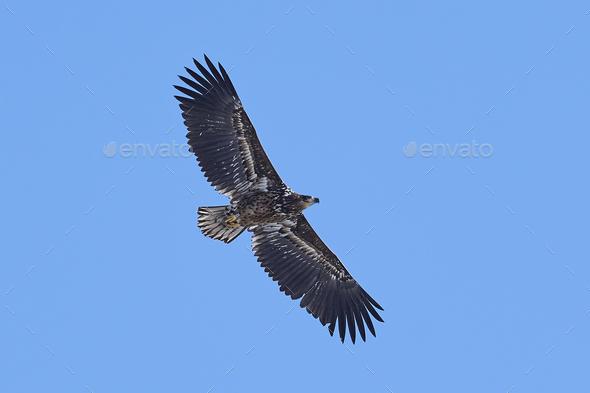 White-tailed eagle (Haliaeetus albicilla) - Stock Photo - Images
