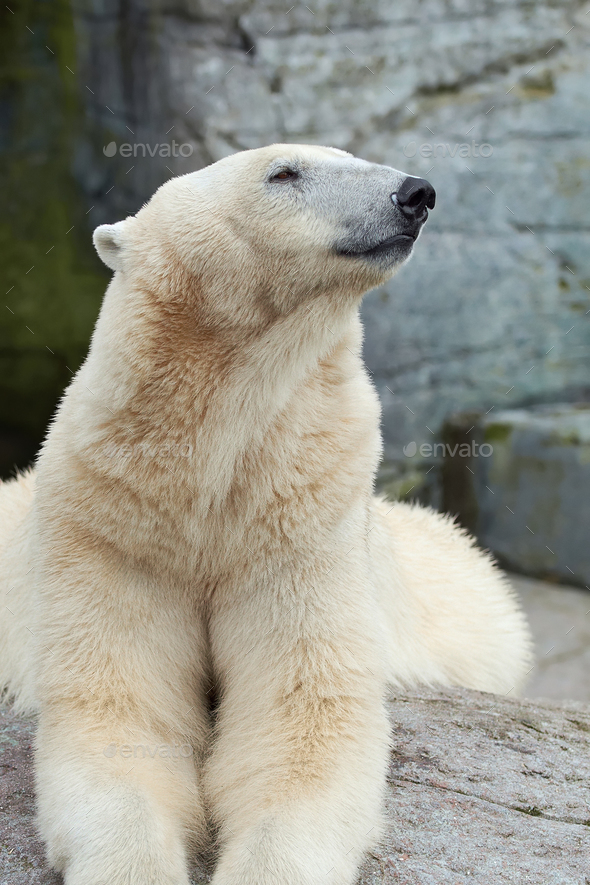 Polar Bear (Ursus maritimus) - Stock Photo - Images