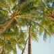 Palm Trees Against the Background of a Light Blue Sky in Clear Weather - VideoHive Item for Sale