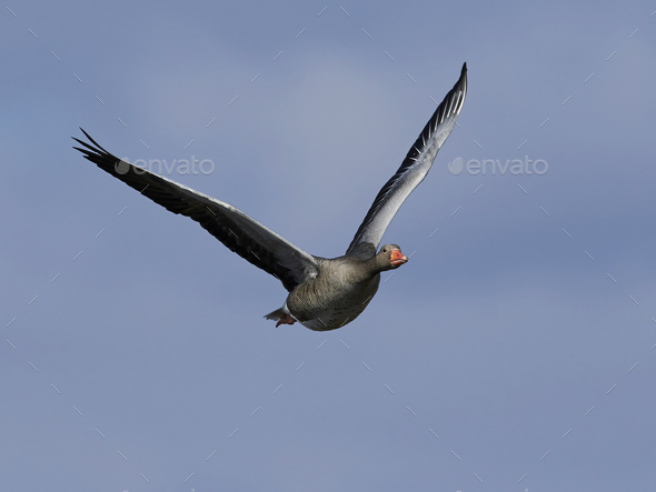Greylag goose (Anser anser) - Stock Photo - Images