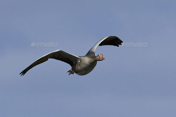 Greylag goose (Anser anser) - Stock Photo - Images