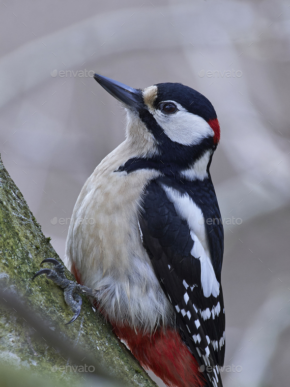 Great spotted woodpecker (Dendrocopos major) - Stock Photo - Images