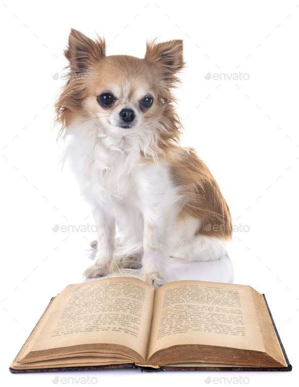 chihuahua and book - Stock Photo - Images