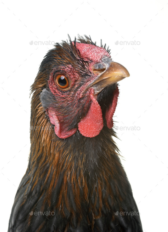 blue laced wyandotte - Stock Photo - Images