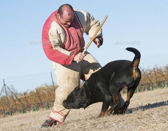 training of police dog - Stock Photo - Images