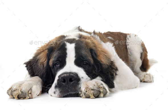 young saint bernard - Stock Photo - Images