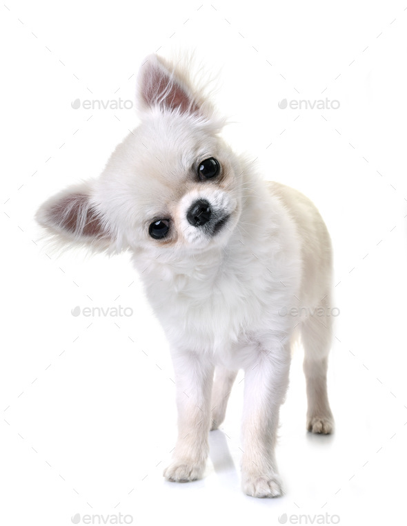 chihuahuas in studio - Stock Photo - Images