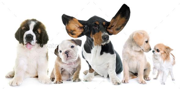 puppies in studio - Stock Photo - Images