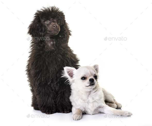 puppy brown poodle and chihuahua - Stock Photo - Images