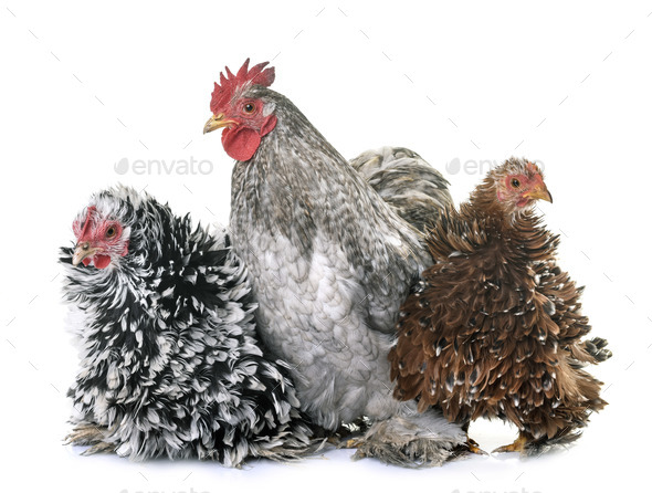 pekin chicken in studio - Stock Photo - Images