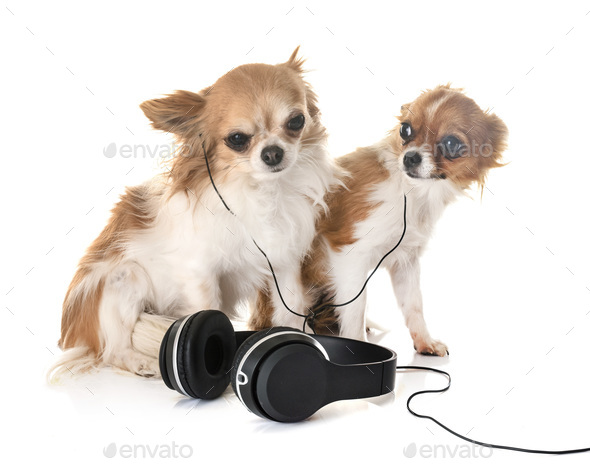 chihuahuas and music - Stock Photo - Images