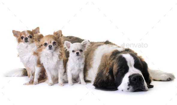 young saint bernard and chihuahua - Stock Photo - Images