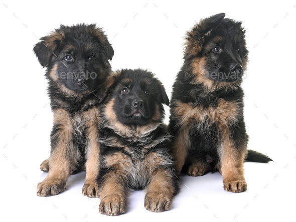 puppies german shepherd - Stock Photo - Images