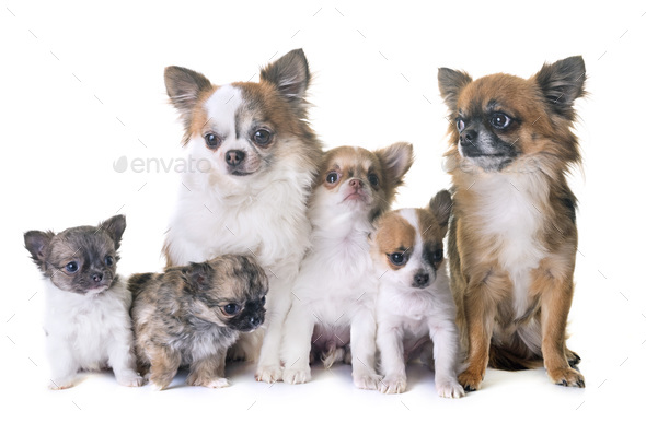 puppies chihuahua and adults - Stock Photo - Images