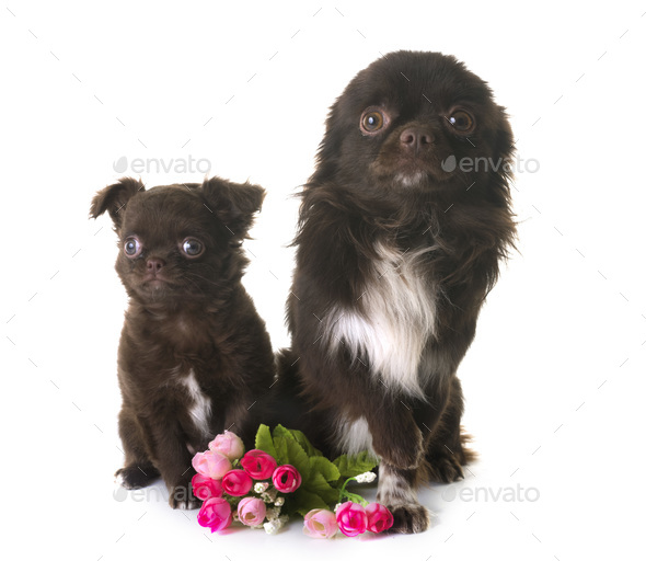 two chihuahua in studio - Stock Photo - Images