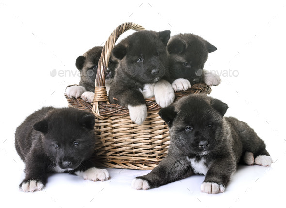 puppies american akita - Stock Photo - Images