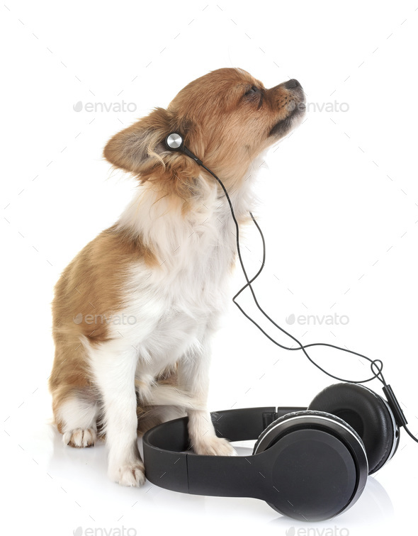 puppy chihuahua and music - Stock Photo - Images