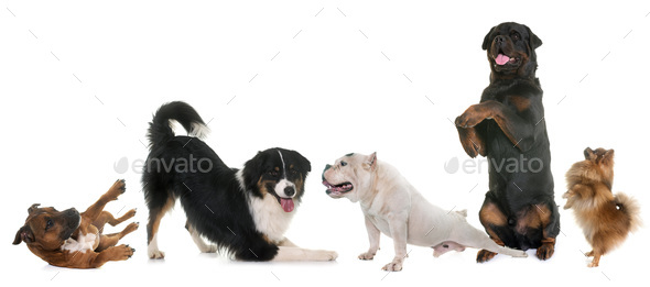 playind dogs in studio - Stock Photo - Images