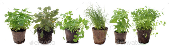 aromatic plants in studio - Stock Photo - Images