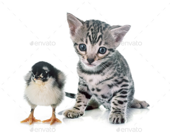 bengal kitten and chick - Stock Photo - Images